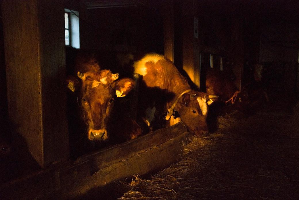 De Koeienstal